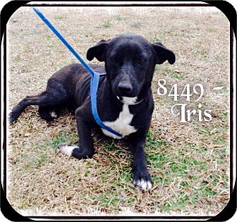 Labrador Retriever Mix Dog for adoption in Dillon, South Carolina - Iris