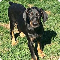 Adopt A Pet :: Shila - Arlington, VA