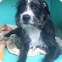 Adopt A Pet :: Niko - Oak Ridge, NJ
