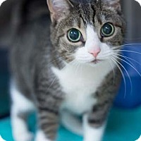 Adopt A Pet :: Stripe - Merrifield, VA