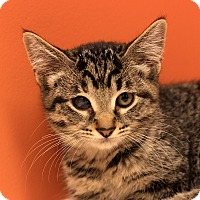 Adopt A Pet :: Tiger - Flushing, MI