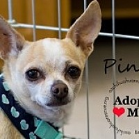 Adopt A Pet :: Pinta - Mesa, AZ