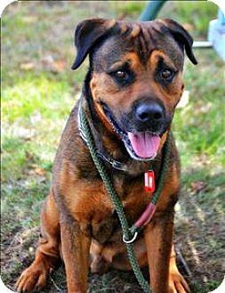 Mastiff/German Shepherd Dog Mix Dog for adoption in Cleveland, Tennessee - Al Capone