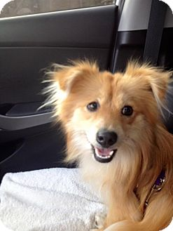 Pomeranian/Chihuahua Mix Dog for adoption in Alderson, West Virginia - Tee