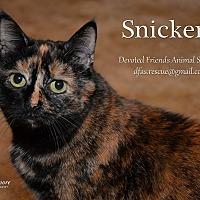 Adopt A Pet :: Snickers - Ortonville, MI