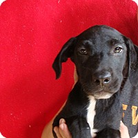 Labrador Retriever/Golden Retriever Mix Puppy for adoption in Oviedo, Florida - Cooper