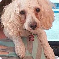 Adopt A Pet :: Cha Cha - Encino, CA