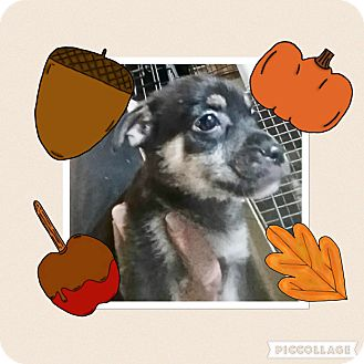 Terrier (Unknown Type, Small)/Chihuahua Mix Puppy for adoption in Media, Pennsylvania - Robin Hood