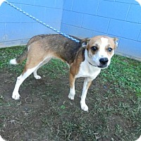 Jack Russell Terrier/Beagle Mix Dog for adoption in Randleman, North Carolina - Mia