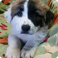 Adopt A Pet :: Fluffy - Los Angeles, CA
