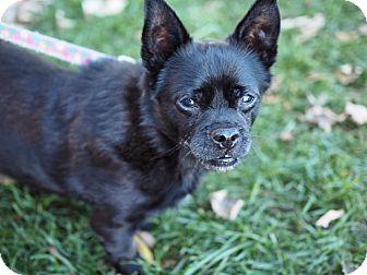 Chihuahua/Pug Mix Dog for adoption in Whitehall, Pennsylvania - Batman