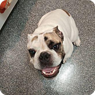 English Bulldog Puppy for adoption in Odessa, Florida - Rocco