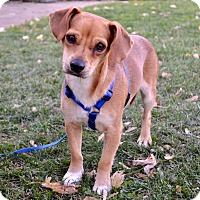 Adopt A Pet :: *Cashew - PENDING - Westport, CT