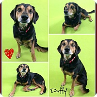 Adopt A Pet :: Duffy - Phoenix, AZ