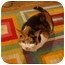 Photo 2 - Calico Cat for adoption in Muncie, Indiana - Sadie