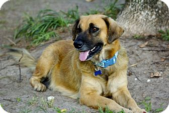 Shepherd (Unknown Type) Mix Dog for adoption in Houston, Texas - Barbie