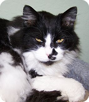 Domestic Longhair Cat for adoption in Grants Pass, Oregon - Izzy