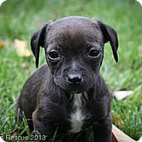 Adopt A Pet :: Sable - Broomfield, CO