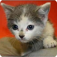 Adopt A Pet :: PERRY - SILVER SPRING, MD
