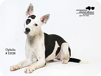 American Pit Bull Terrier Mix Dog for adoption in Baton Rouge, Louisiana - Ophelia  (Foster Care)