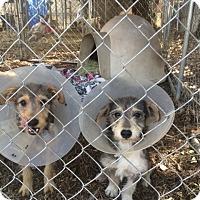 Adopt A Pet :: Felix & Evee - Fair Oaks Ranch, TX