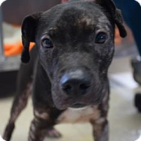 Adopt A Pet :: Helix - Bradenton, FL