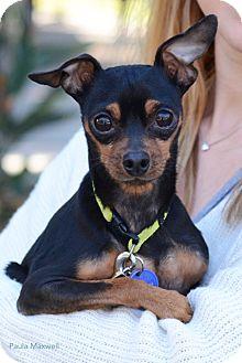 Miniature Pinscher Mix Dog for adoption in Santa Monica, California - Killey