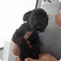 Adopt A Pet :: Kolt - Vancouver, BC