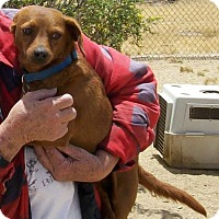 Dachshund Mix Dog for adoption in Palmdale, California - Donald