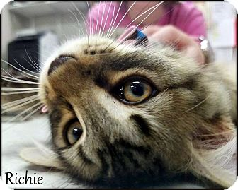 Domestic Mediumhair Cat for adoption in Ottumwa, Iowa - Richie