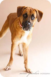 Boxer/Retriever (Unknown Type) Mix Dog for adoption in Marietta, Georgia - Gavin