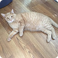 Domestic Shorthair Cat for adoption in St. Louis, Missouri - SHepherd- Courtesy Post
