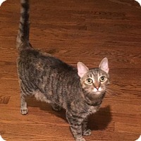 Adopt A Pet :: Silverbelle (COURTESY POST) - Baltimore, MD