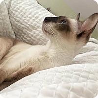 Adopt A Pet :: Azul - Toronto, ON