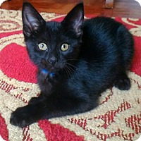 Adopt A Pet :: ' The Wizard Of Oz Kittens' Toto - Akron, OH