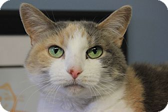 Calico Cat for adoption in New Richmond,, Wisconsin - Grizzy