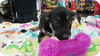 Terrier (Unknown Type, Medium) Mix Puppy for adoption in Hainesville, Illinois - Ellen