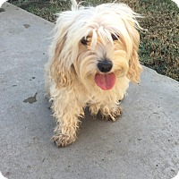 Cockapoo Mix Dog for adoption in Rancho Santa Fe, California - Quinn