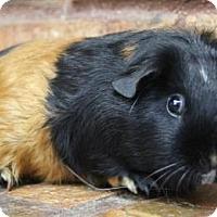 Adopt A Pet :: Ruby - Benbrook, TX