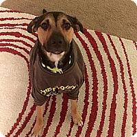 Adopt A Pet :: Looper - Southbury, CT