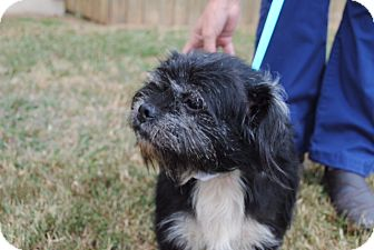 Shih Tzu/Schnauzer (Miniature) Mix Dog for adoption in Allentown, Pennsylvania - Eli (ETAA)