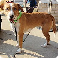 Beagle Mix Dog for adoption in Centreville, Virginia - Aries - Adoption Pending