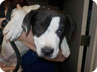 Pit Bull Terrier Mix Puppy for adoption in Long Beach, California - A581886