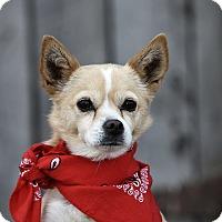 American Eskimo Dog/Chihuahua Mix Dog for adoption in Heber City, Utah - Lulu