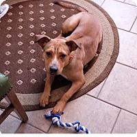 Adopt A Pet :: Foxy - Island Park, NY