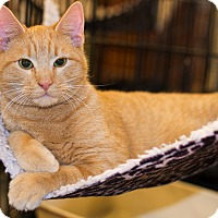 Adopt A Pet :: A..  Cheddar - Mooresville, NC