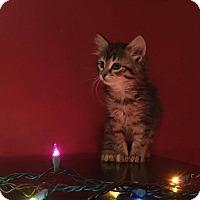 Adopt A Pet :: Princess Fluffybutt - Chicago, IL