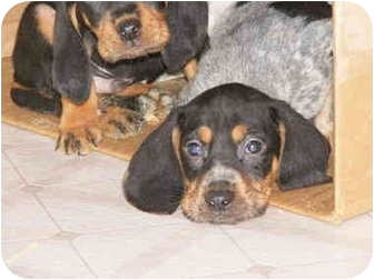 9 Hound Pups | Adopted Puppy | 81508pups | Toledo, OH ...