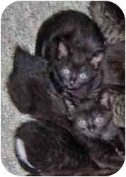 Domestic Shorthair Kitten for adoption in Boston, Massachusetts - Chiara and Dani