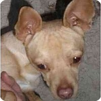 Whippet/Chihuahua Mix Dog for adoption in Templeton, California - Billy Bob